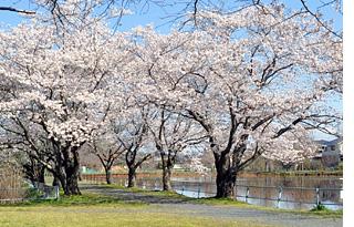 那珂市宮の池公園の桜
