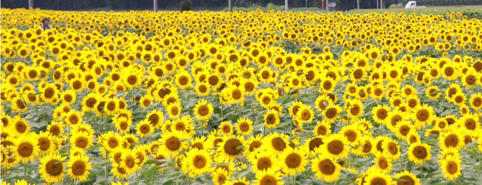 茨城県那珂市ひまわり畑